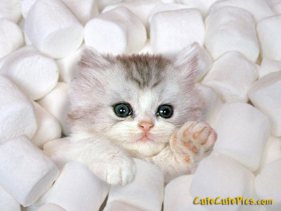 cute kitten marshmellows Cats